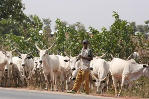 Herdsman with his head of cattle