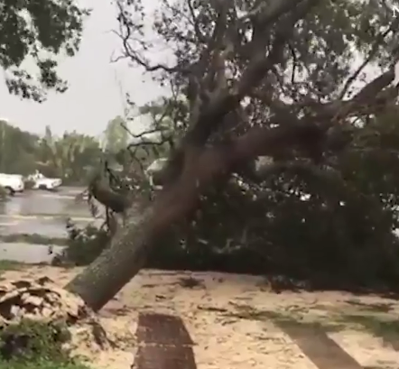 Hurricane Irma pulls down a large tree in Florida, 10 September 2017