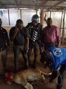 Lagos States government evacuates a lion from a private residence to Lekki Zoo